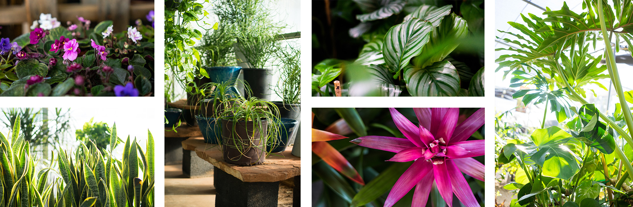 A collage of 6 images of houseplants: African Violets, Snake Plants, Spider Plants & Pothos, Calathea, Bromeliads and Monsteras