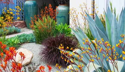 Mediterranean inspired garden with Kangaroo Paw,  Blue Chalk succulents, Agave, ornamental grass and two tall blue pots in the background