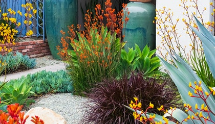 Mediterranean inspired garden with Kangaroo Paw,  Blue Chalk succulents, Agave and ornamental grass