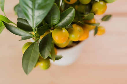 Closeup of potted dwarf citrus tree
