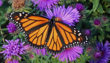 Purple Aster perennial flowers with a monarch butterfly sitting on top