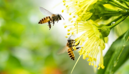 Two pollinator bees flying around a yellow flowers