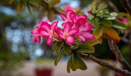 Desert rose, also known as adenium