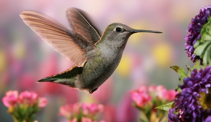 Hummingbird flying near purple flowers with pink flowers in the background