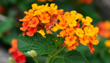 Bright orange lantana