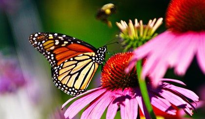 Monarch Butterfly and Bee on a Cone Flower