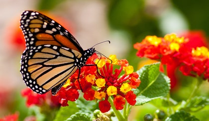 Monarch Butterfly on red and yellow lantana