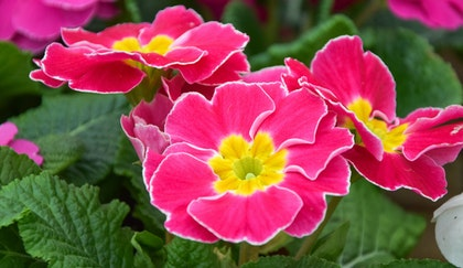 Bright pink primrose with a yellow center