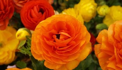 Bright orange and yellow ranunculus