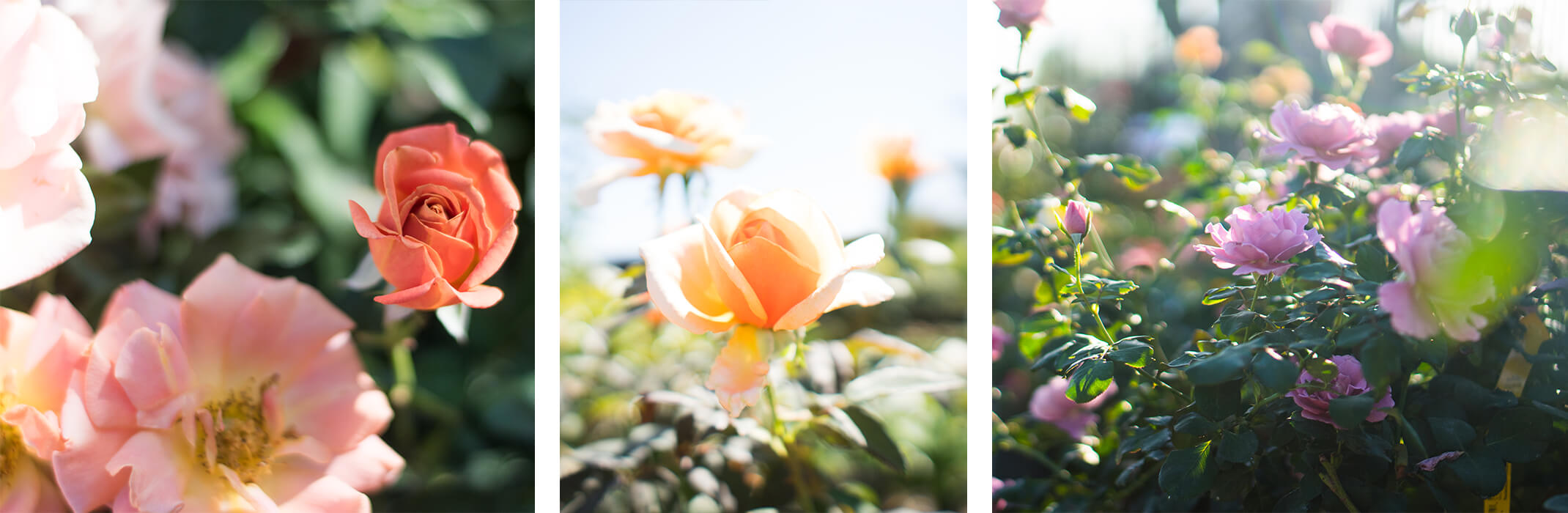 3 Photo of different color roses - orange, yellow and purple