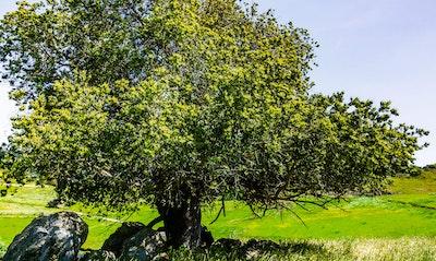 Coast Live Oak Quercus agrifolia California Native tree
