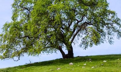 Valley Oak Quercus lobata California Native tree