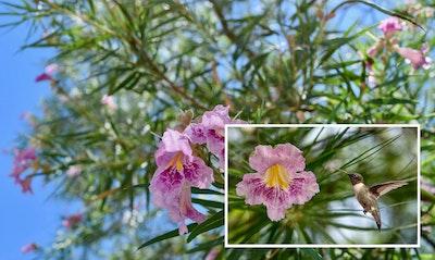 Desert Willow Chilopsis linearis California Native tree