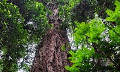 Coast Redwood Sequoia sempervirens California Native tree