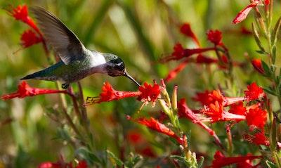 California Fuchsia or Zauschneria Epilobium canum California Native