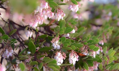 Manzanita Arctostaphylos California Native