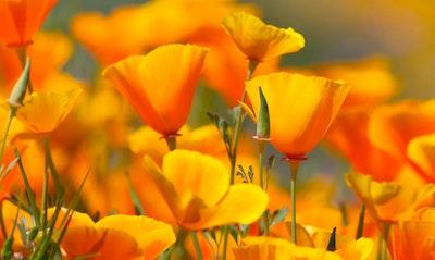 California Poppy Eschscholzia californica California Native