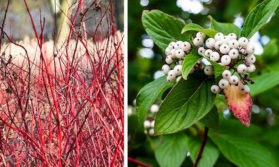 Red Twig Dogwood Cornus sericea California Native