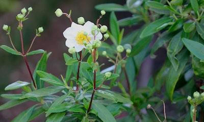 Bush Anenome Carpenteria californica California Native
