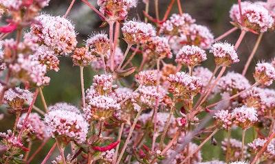 Buckwheat Eriogonum fasciculatum California Native
