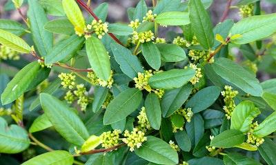 California Coffeeberry Rhamnus californica California Native