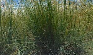 Idaho Fescue Festuca idahoensis