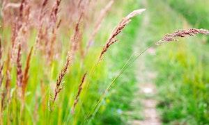 Red Fescue Festuca rubra grass