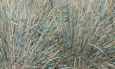 Giant Ryegrass Leymus condensatus grass