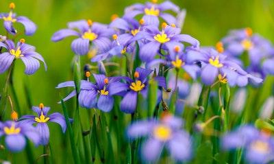Blue Eyed Grass Sisyrinchium bellum