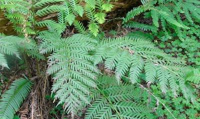 Giant Chain Fern Woodwardia firmbriata