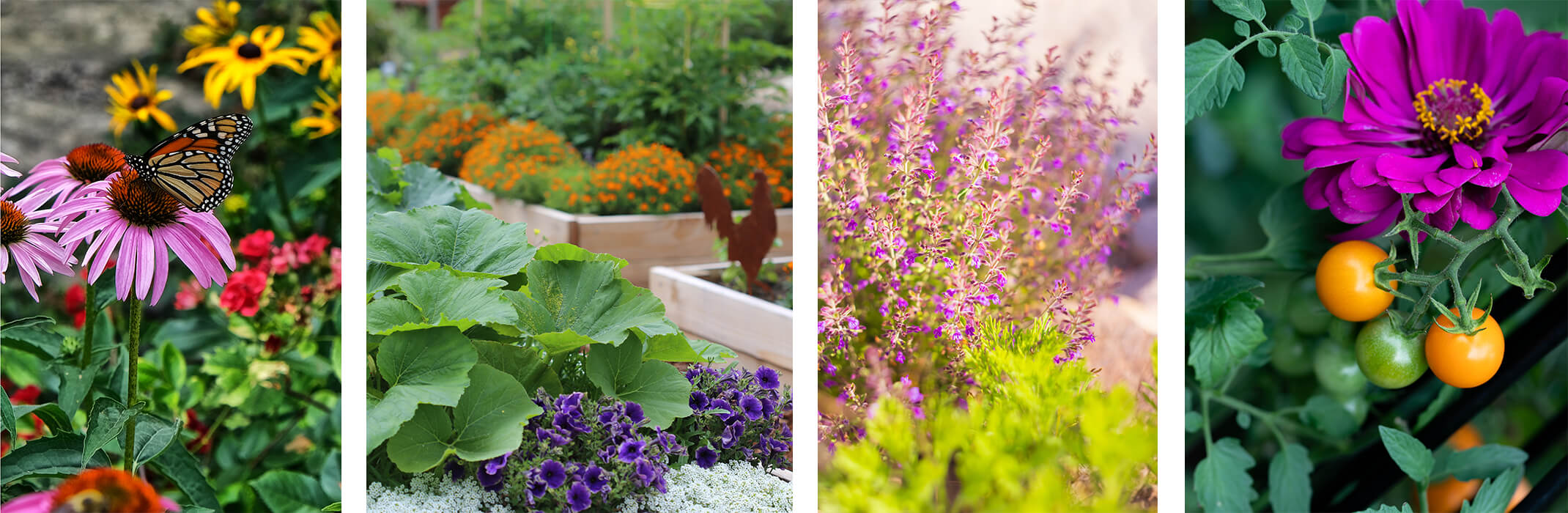 Collage with 4 picts: butterfly on echinacea in garden with other flowers, raised vegetable garden beds with  edible plants and flowers, sage planted in garden, and cherry tomatoes growing near a purple flower