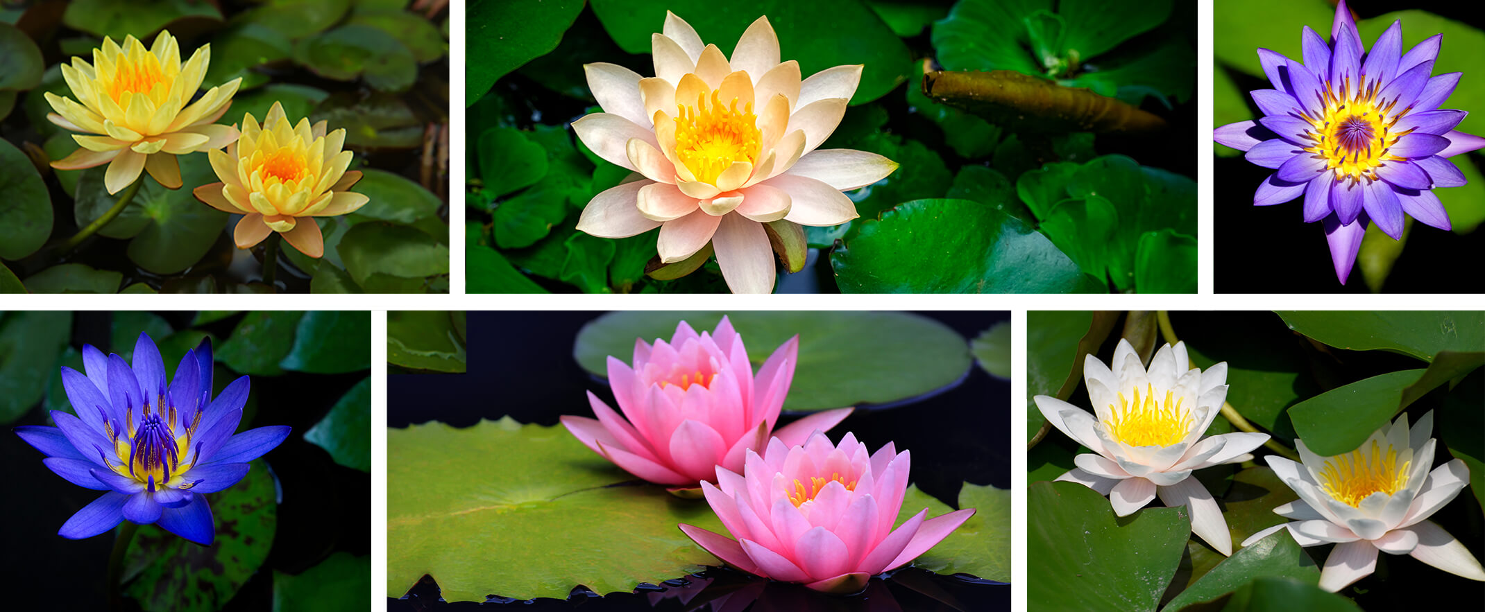 A collage of 6 different colorful water lilies - yellow, peach, purple, blue, pink and white
