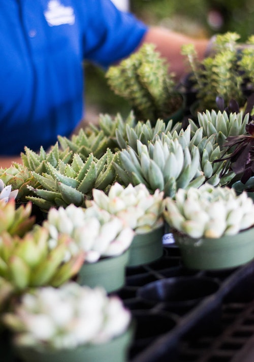 A variety of succulent in the foreground with a SummerWinds Nursery associate in their blue shirt in the background