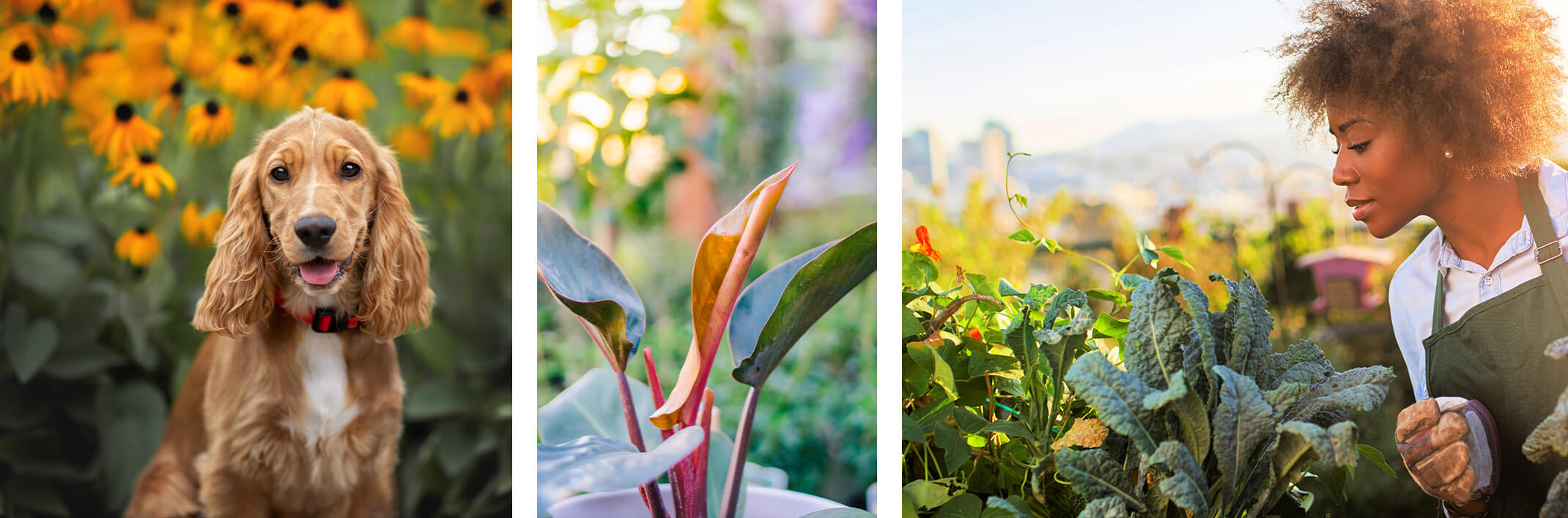 Collage: dog in garden with yellow echinacea flowers, a close up of a Bird of Paradise plant with blurred garden background, and a woman gardener admiring her vegetable garden and kale