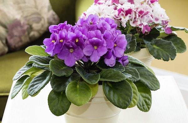 African Violet Saintpaulia ionantha houseplant 2 varieties on table