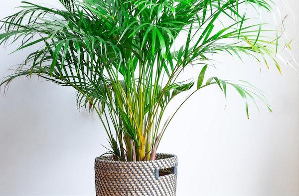 Areca Palm Dypsis lutescens houseplants