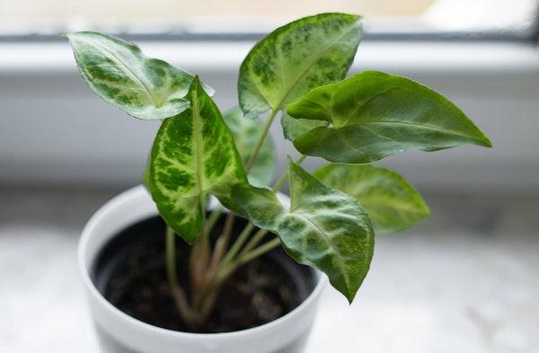 Arrowhead Plant Syngonium podophyllum houseplants