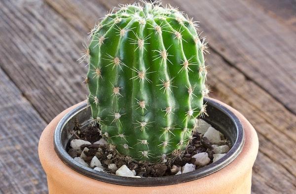 Cactus houseplant