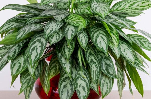 Chinese Evergreen Aglaonema houseplant