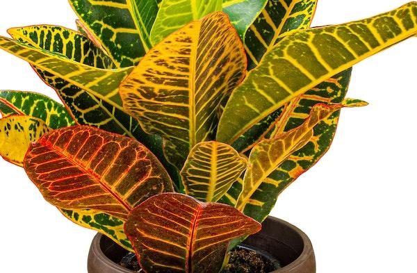 Croton Plant Codiaeum variegatum var. pictum houseplant