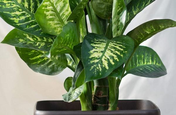Dumb Cane Dieffenbachia houseplant