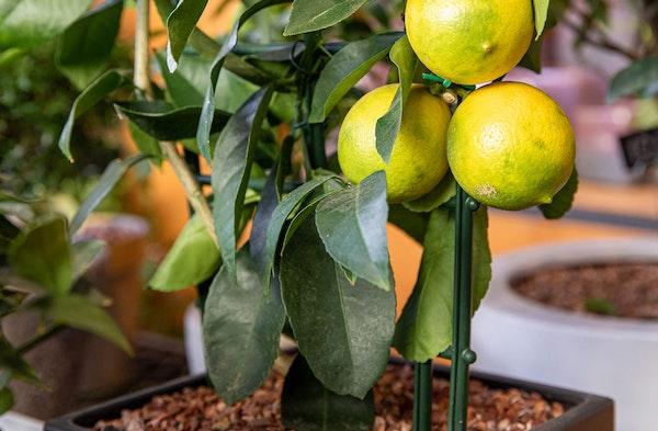 Dwarf citrus plant lemon houseplant