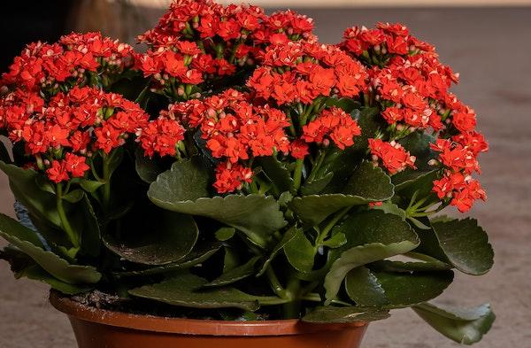Kalanchoe houseplant red