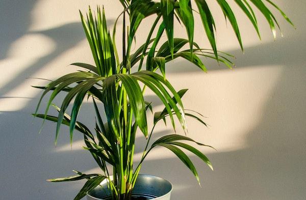 Kentia Palm Howea forsteriana houseplant