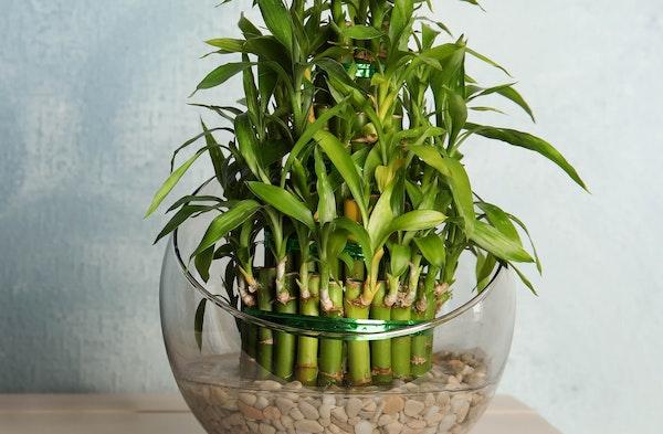 Lucky Bamboo Dracaena sanderiana houseplant