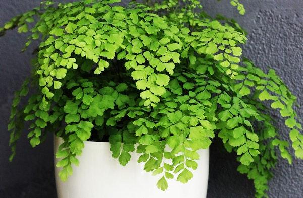 Maidenhair Fern houseplant