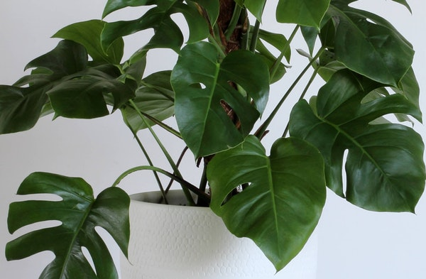 Monstera or Swiss Cheese Plant Monstera deliciosa houseplant