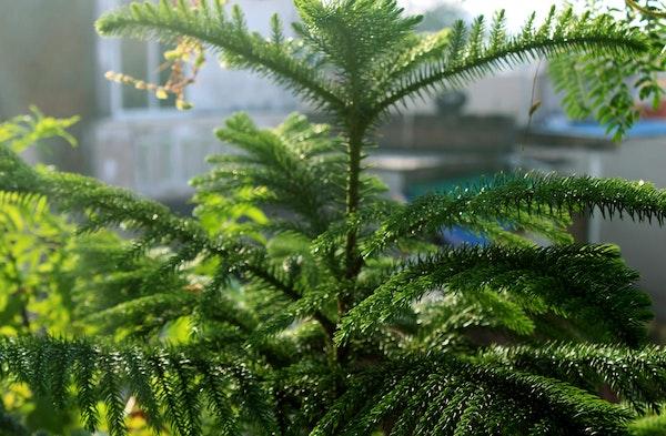 Norfolk Pine Araucaria heterophylla houseplant