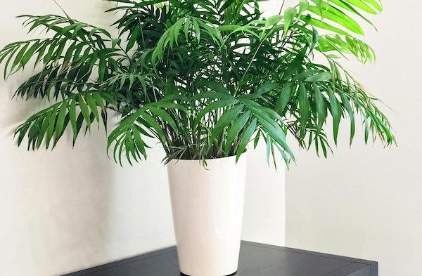 Parlor Palm Chamaedorea elegans