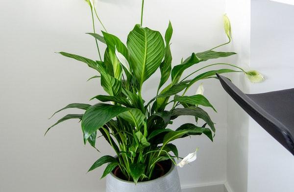 Peace Lily Spathiphyllum houseplant